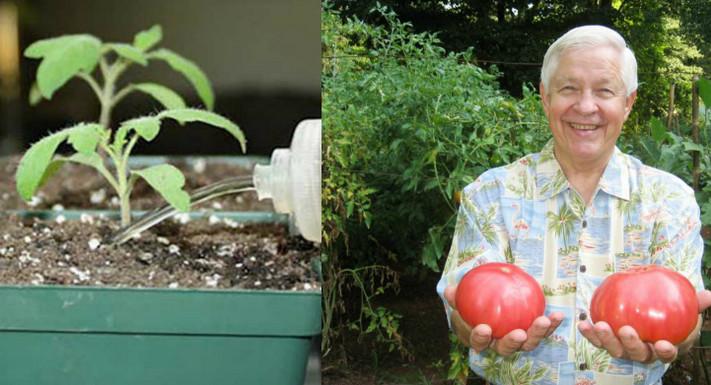Полей рассаду этим простым средством — сильные побеги, буйное цветение, богатый урожай гарантированы!