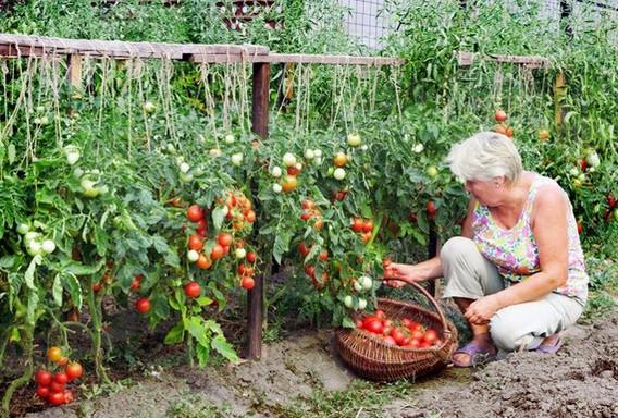 Хотите получать по два ведра томатов с куста? Мои секреты!