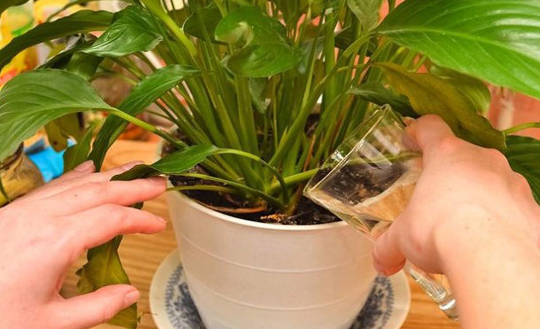 Обратите внимание! Простое средство, способное сотворить чудо даже с самым чахлым растением!