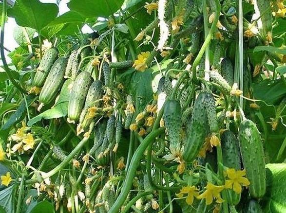 Бор поможет в увеличении завязей! Хотим поделиться с вами одним маленьким секретиком повышения урожайности...