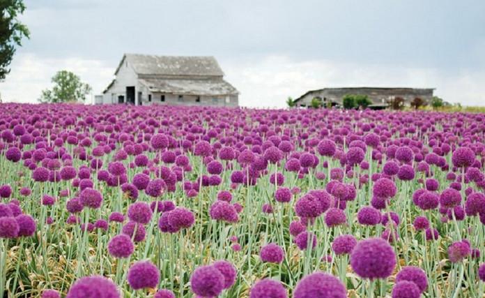 Аллиум, или декоративный лук, — идеальный цветок для наших широт... Участок преобразился!