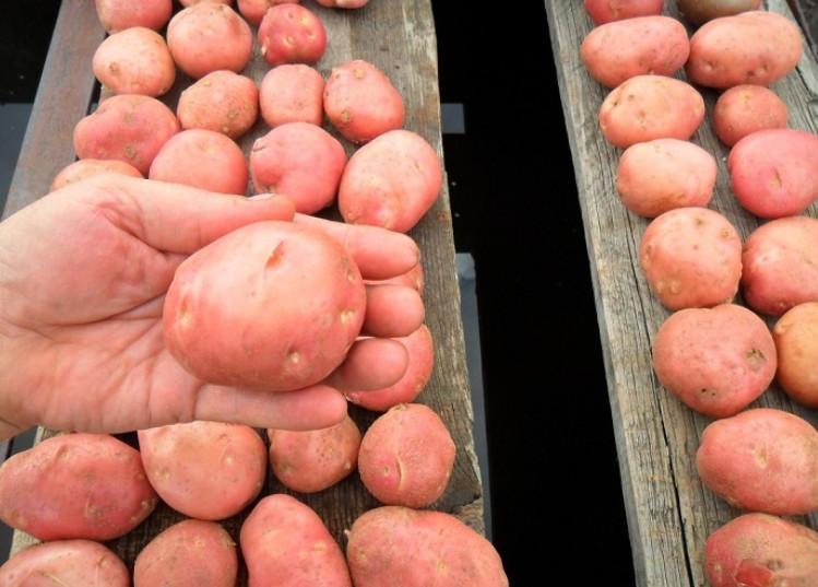 Как правильно выбрать молодой картофель? Этой хитрости меня научил один продавец...