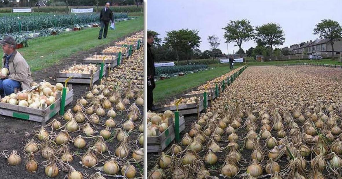 Выращивание лука из головок 506