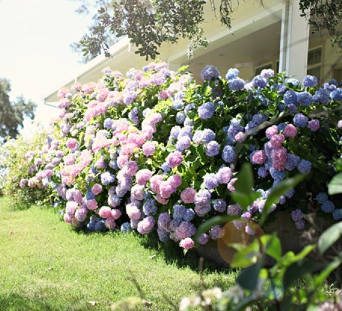 «Цветок — фиолетовое солнце» покорил мое сердце! Теперь весь сад в них...