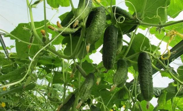 Растворы для хорошего урожая огурчиков!
