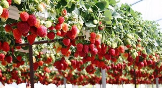 Как сажать клубнику в августе, чтобы не беспокоиться об урожае в следующем году...