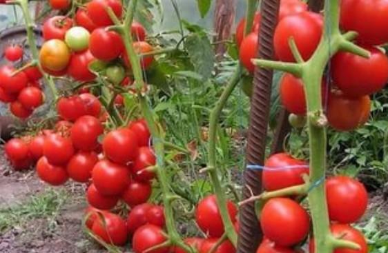 Как получить урожай, которым можно удивить всех? Запомните одно - без внимания к помидорам урожая не будет...