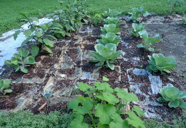 Использование газет и картона в огороде...