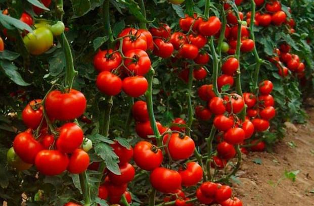 Секреты невероятно высоких урожаев помидоров...