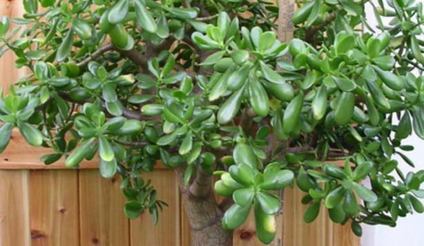 Толстянка — «Денежное Дерево»… Лечит или отравляет? На что способно всем известное комнатное растение... 7 правил ухода.