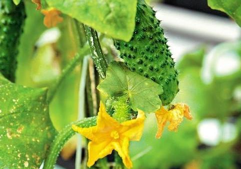 6 бесценных советов чтобы листья огурцов не желтели! Взять 0,7л. банку луковой шелухи насыпать в 10 литровое ведро и....
