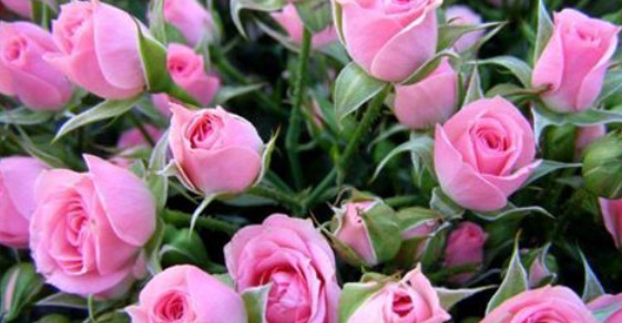Йод и молоко прогнали тлю с моих роз...