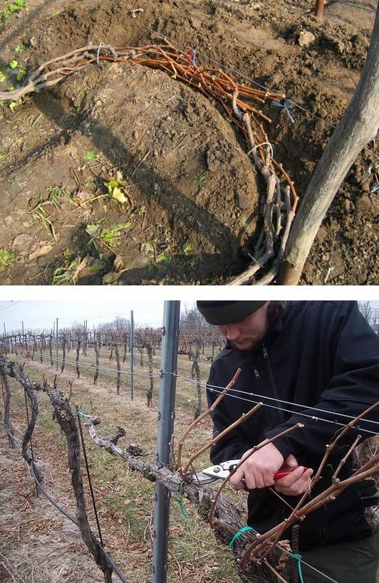 Как правильно обрезать и укрывать виноград на зиму...