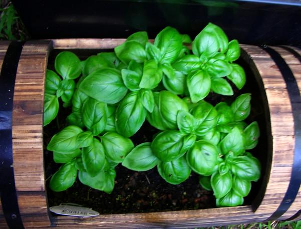 Забыла, когда последний раз покупала базилик на рынке! Знаю, как выращивать ароматное растение дома...