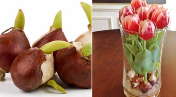 Цветущие тюльпаны круглый год. Секрет, как вырастить тюльпаны дома без использования земли