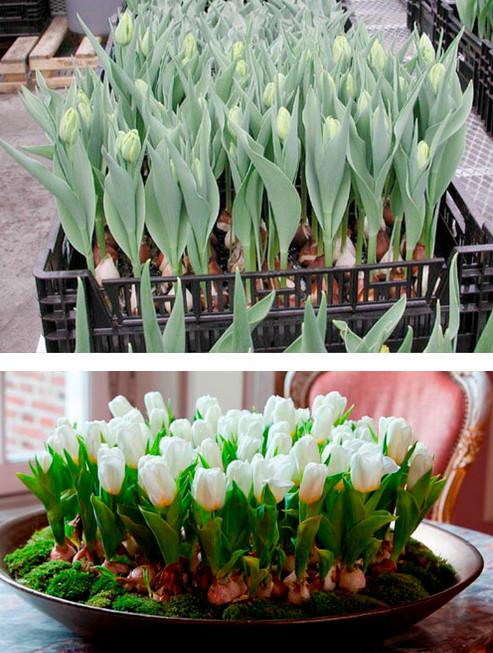 Жду весну в декабре. Или как вырастить цветы к Новому году...