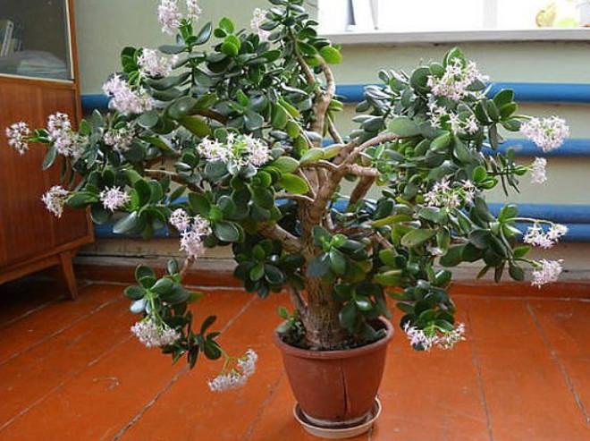 Цветок денежного дерева — предвестник богатства! Как, как уговорить его зацвести?