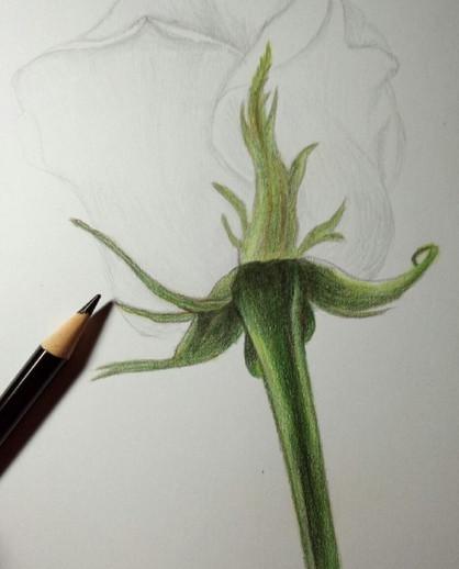Рисуем розу цветными карандашами — быстро, просто и легко!