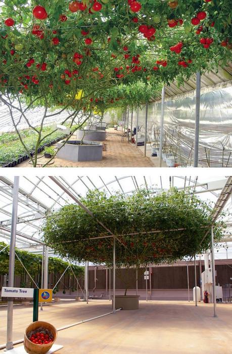 Томат-дерево Спрут F1: Необычный гибридный сорт выведенный фермерами....