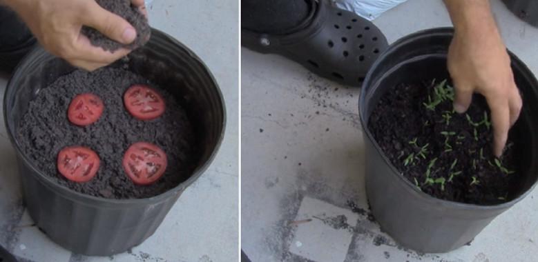 Используя этот способ выращивания помидоров, вы больше не будете покупать их в магазине...