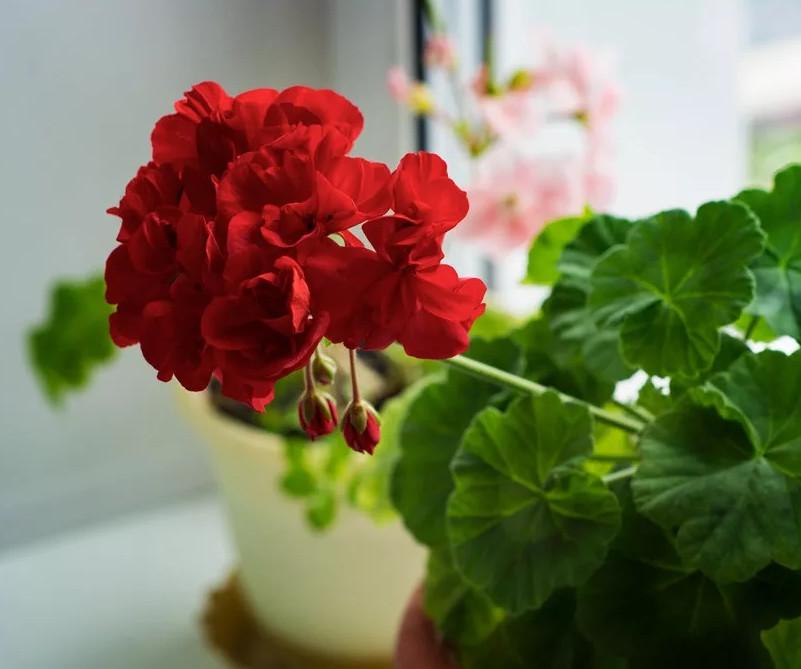 Комнатные домашние цветы: правильный уход своими руками. Капля йода - и вы не узнаете свою герань!