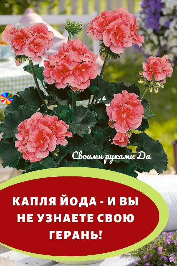 Комнатные цветы: герань и уютный дом своими руками