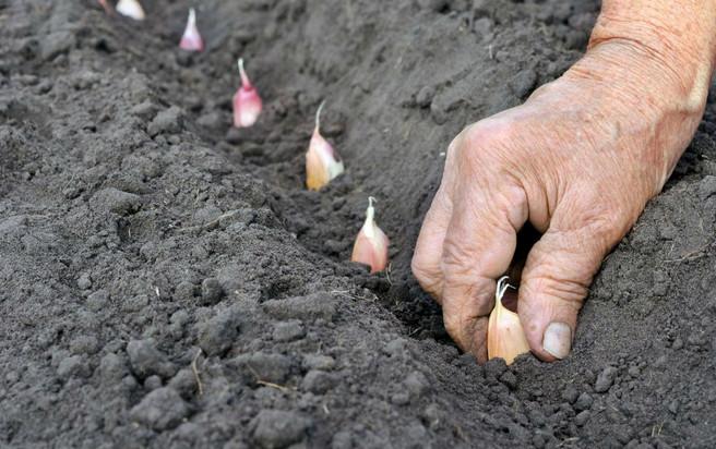 Как подготовить грядку под чеснок для посадки осенью под зиму