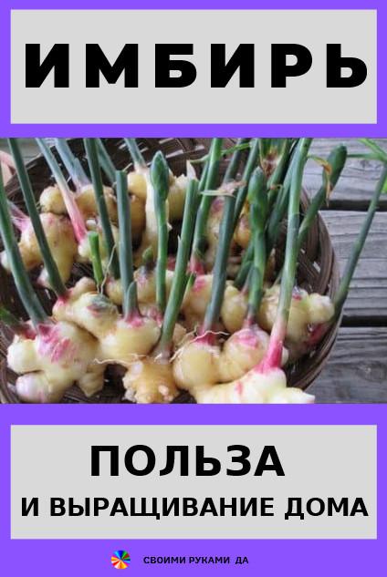 Имбирь: польза и выращивание дома. Употребление имбиря: снижает давление, убирает головокружение,тошноту, слабость, применяется при простудных заболеваниях,