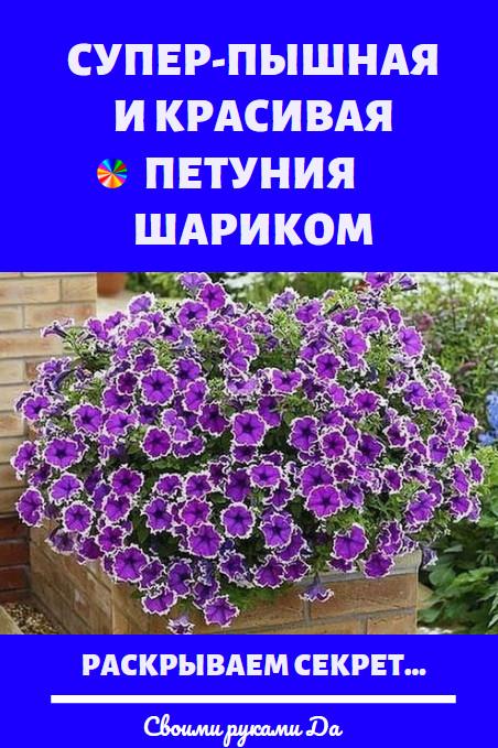 Петуния: Объёмная и красивая, пышная петуния шариком — мечта многих садоводов и дачников! Этот прекрасный однолетний цветок с восхитительным ароматом является весьма и весьма популярным, что неудивительно. Если вырастить её в форме шарика, такую пышную и объёмную, то одна лишь петуния сможет замечательно украсить и сад, и балкон, и террасу дома. Самое интересное в том, что сформировать такой куст не составляет никакого труда, однако, конечно же, нужно знать ряд важных и обязательных правил.