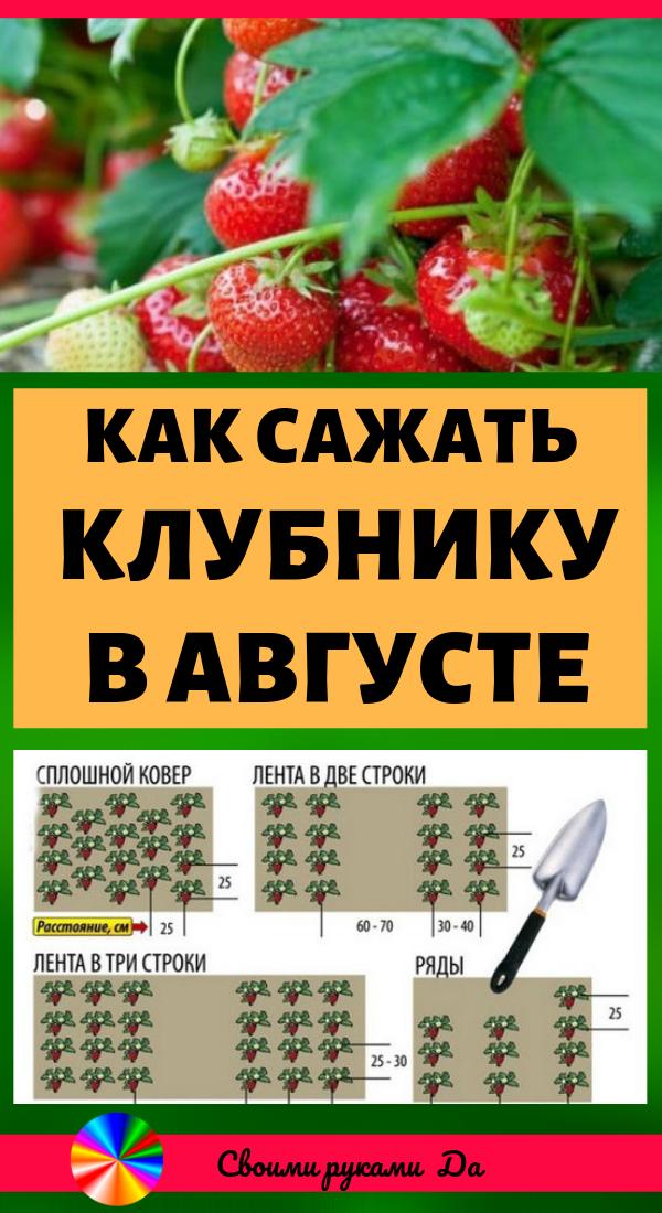 Как сажать клубнику в августе, чтобы не беспокоиться об урожае в следующем году. Огород и дача своими руками