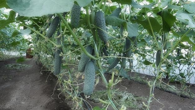 Нюансы выращивания огурцов в условиях открытого грунта