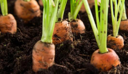 Сажаем морковь без прополки. Супер эффективный способ